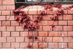 Folhas do vermelho na frente da parede de tijolo imagens de stock