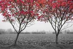 Folhas do vermelho na névoa Imagem de Stock