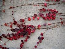 Folhas do vermelho na parede Imagens de Stock