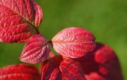 Folhas do vermelho no fundo verde Imagem de Stock
