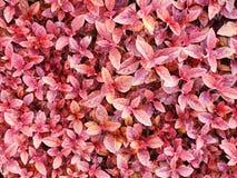Folhas do vermelho no jardim Foto de Stock Royalty Free