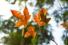 Folhas do vermelho no luminoso Fotos de Stock