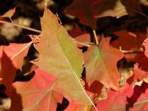 Folhas do vermelho no outono Fotografia de Stock Royalty Free