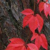 Folhas do vermelho no pinheiro Imagem de Stock