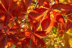 Folhas do vermelho no sol Imagens de Stock Royalty Free