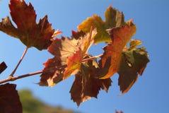 Folhas do vermelho no vento fotografia de stock