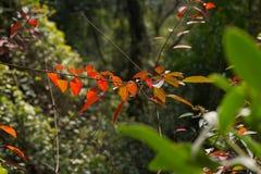 Folhas do vermelho no verde Fotografia de Stock Royalty Free