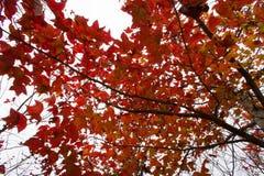 Folhas do vermelho sobre o céu Fotografia de Stock Royalty Free