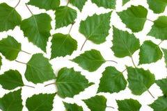 Folhas do vidoeiro Fotos de Stock