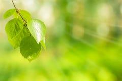 Folhas do vidoeiro imagens de stock