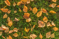 Folhas do vidoeiro amarelo Foto de Stock Royalty Free