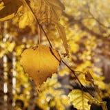 Folhas do vidoeiro amarelo da queda em raios de The Sun Autumn Golden Foliage imagens de stock