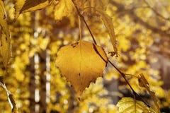 Folhas do vidoeiro amarelo da queda em raios de The Sun Autumn Golden Foliage imagem de stock