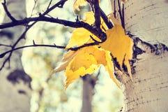 Folhas do vidoeiro amarelo na floresta do outono Foto de Stock