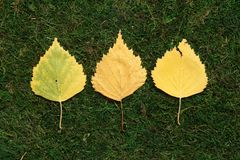 Folhas do vidoeiro amarelo no fundo verde imagens de stock royalty free