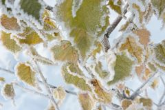Folhas do vidoeiro cobertas com a geada e a neve no tempo de congelação Fotografia de Stock Royalty Free