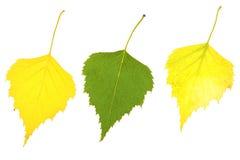 Folhas do vidoeiro do outono Imagem de Stock