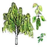 Folhas do vidoeiro, folhas e árvore, amentilhos do vidoeiro ilustração do vetor