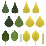 Folhas do vidoeiro e vagens da semente Fotos de Stock