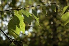 Folhas do vidoeiro em um fundo natural Imagens de Stock Royalty Free