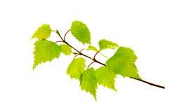 Folhas do vidoeiro isoladas no fundo branco Foto de Stock