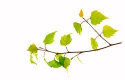 Folhas do vidoeiro isoladas no fundo branco Fotos de Stock