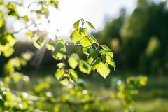 Folhas do vidoeiro na floresta Fotografia de Stock Royalty Free