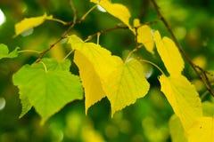 Folhas do vidoeiro no ramo Imagens de Stock
