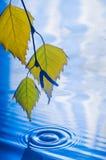 Folhas do vidoeiro sobre a água com ondinhas dos pingos de chuva Fotos de Stock Royalty Free