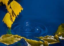 Folhas do vidoeiro sobre a água com ondinhas dos pingos de chuva Imagem de Stock