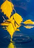 Folhas do vidoeiro sobre a água com ondinhas dos pingos de chuva Imagens de Stock
