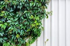 Folhas do vinho e parede branca Foto com espaço da cópia imagem de stock royalty free