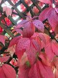 Folhas do vinho tinto coloridas no outono e molhadas pela chuva foto de stock