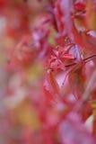 Folhas do vinho vermelho foto de stock