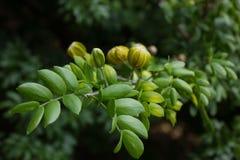 Folhas do vitae de Lignum em Florida sul imagens de stock royalty free