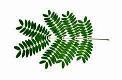 Folhas dos detalhes da árvore da acácia no fundo branco ilustração stock