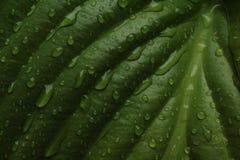 Folhas dos lírios após a chuva fotos de stock royalty free