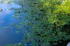 Folhas dos lírios de água que flutuam na lagoa fotos de stock