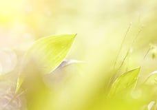 Folhas dos lírios do vale em gotas de orvalho Fotos de Stock Royalty Free