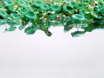 Folhas dos lótus Fotografia de Stock