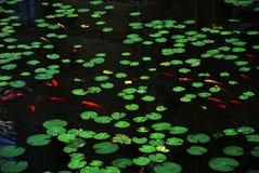 Folhas dos lótus e peixes vermelhos Imagens de Stock