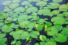 Folhas dos lótus que flutuam na associação Imagem de Stock Royalty Free