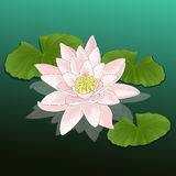 Folhas dos lótus do rosa do lírio de água da flor Imagem de Stock