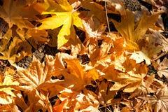 Folhas dos mortos dos bordos, Ashland, Oregon Foto de Stock Royalty Free