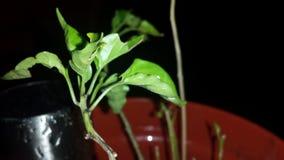 Folhas dos pimentões da noite Imagem de Stock Royalty Free