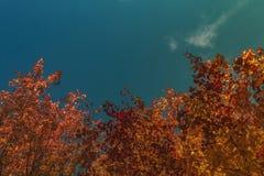 Folhas douradas Imagem de Stock