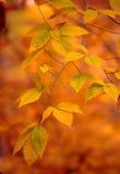 Folhas douradas Imagens de Stock Royalty Free
