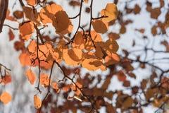 Folhas douradas da pera de Bradford da folhagem de outono colorida com b retroiluminado foto de stock