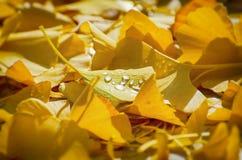 Folhas douradas de Biloba da nogueira-do-Japão Imagem de Stock