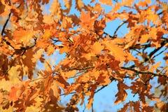 Folhas douradas no fundo do céu azul imagem de stock royalty free
